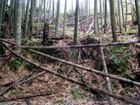 Bamboo_forest_1