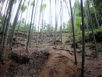 Bamboo_forest_2